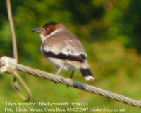 Black-crowned Tityra - Tityra inquisitor