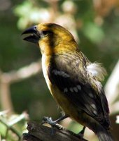 Yellow Grosbeak - Pheucticus chrysopeplus