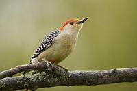 Red Bellied Woodpecker ( Melanerpes carolinus ) , Norwalk , Wisconsin , USA stock photo