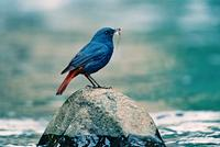 Name:	Plumbeous Water Redstart
