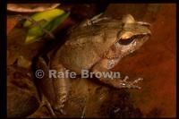 : Platymantis corrugatus; Rough-Backed Forest Frog