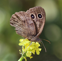 : Cercyonis pegala ssp. boopis; Ox-eyed Satyr