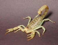 : Hadrurus arizonensis; Giant Hairy Scorpion