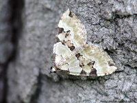 Colostygia pectinataria - Green Carpet