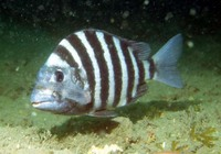 Archosargus probatocephalus, Sheepshead seabream: fisheries, gamefish, aquarium
