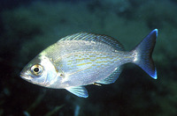 Spondyliosoma cantharus, Black seabream: fisheries, gamefish, aquarium
