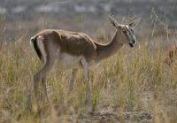 Image of: Gazella subgutturosa (goitered gazelle)