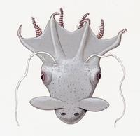 Image of: Vampyroteuthis infernalis (vampire squid)