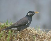 White-cheeked (Gray) Starling (Sturnus cineraceus) photo