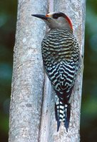 West Indian Woodpecker - Melanerpes superciliaris
