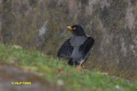 Yellow-legged Thrush - Platycichla flavipes