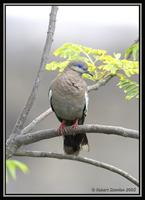 West-Peruvian Dove