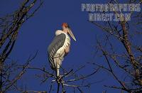 Marabou stork ( Leptoptilos crumeniferus ) , Tsavo West National Park , Kenya stock photo