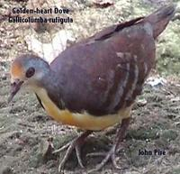 Golden Heart Dove (Gallicolumba rufigula)