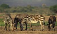...Cape Mountain Zebra, Equus zebra zebra, highly endangered species, De Hoop Nature Reserve, South
