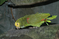 : Amazona ochrocephala; Yellow-crowned Amazon Parrot