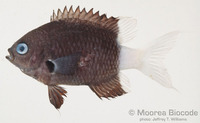 : Chromis margaritifer