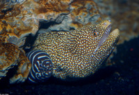 : Gymnothorax meleagris; Whitemouth Moray Eel;
