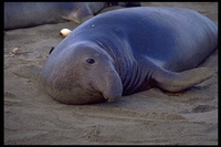 : Mirounga angustirostris; Northern Elephant Seal