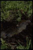 : Thomomys monticola; Mountain Pocket Gopher