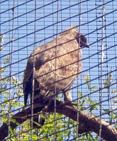 Mountain hawk eagle Spizaetus nipalensis