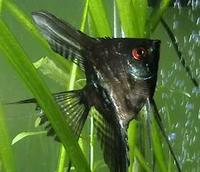 Image of: Pterophyllum scalare   (angelfish)