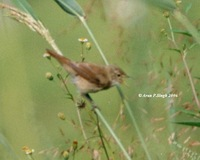 Long-billed Bush Warbler? - Bradypterus major