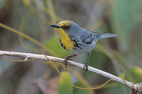 Olive-capped Warbler (Dendroica pityophila) photo