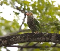 Lineated Barbet - Megalaima lineata