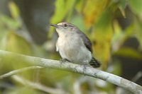 Tooth-billed Wren - Odontorchilus cinereus