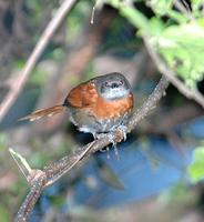 Rufous-breasted Spinetail (2); El Paval, Chiapas, MX (WEB).jpg