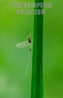 Small Translucent Minnow Mayfly of the family Baetidae ( 07 5695 7 ) stock photo
