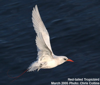 Fig.12.   Red-tailed Tropicbird.