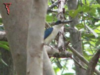 Collared Kingfisher(Halcyon chloris)
