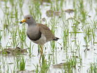 Vanellus cinereus Grey-headed Lapwing ケリ