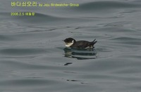 바다쇠오리 Ancient Murrelet