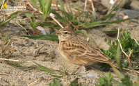 Fig. 7. Greater Shortoed Lark : 쇠종다리