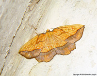 Epione repandaria - Bordered Beauty