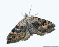 Xanthorhoe quadrifasciata - Large Twin-spot Carpet