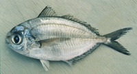 Ariomma indica, Indian ariomma: fisheries