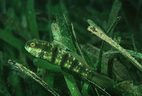 Amblygobius sphynx, Sphinx goby: fisheries, aquarium