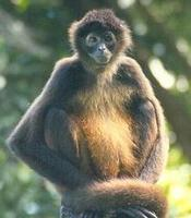 Image of: Ateles geoffroyi (Central American spider monkey)