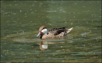 Anas bahamensis - White-cheeked Pintail
