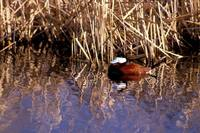 Oxyura jamaicensis - Ruddy Duck