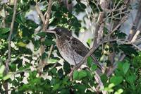 Margarops fuscatus - Pearly-eyed Thrasher
