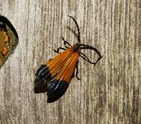 Image of: Lycidae (net-winged beetles)
