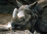 Rhinoceros unicornis - Great Indian Rhinoceros