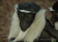 Cercopithecus diana roloway