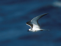 Bridled Tern (Sterna anaethetus) photo