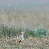 Black-bellied Sandgrouse (Pterocles orientalis) photo